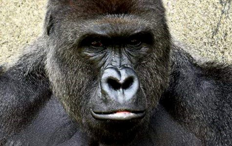 Staring into the camera, Harambe begins to familiarize himself with humans. Harambe was recently shot and killed at the Cincinnati Zoo after allegedly attacking a young boy named Isaiah Dickerson.