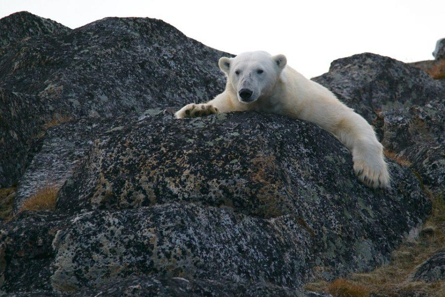 Forced to reside outside of its natural, Arctic habitat, a polar bear exemplifies the effects of climate change on Arctic species. In Leonardo DiCaprio's film, Before the Flood, DiCaprio explores the severity of the ever growing global surface temperature.
