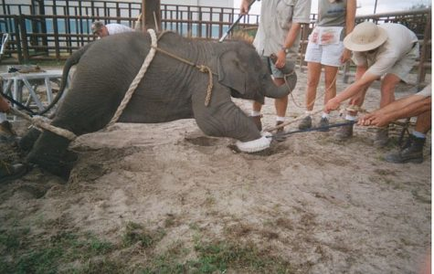 Force taught to learn circus tricks, this baby elephant has many more years of abuse to come. Sadly, there are not enough well-provoked laws to prohibit this kind of treatment for animals.