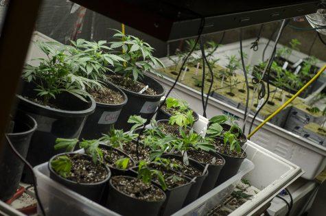 Being blunt about marijuana
