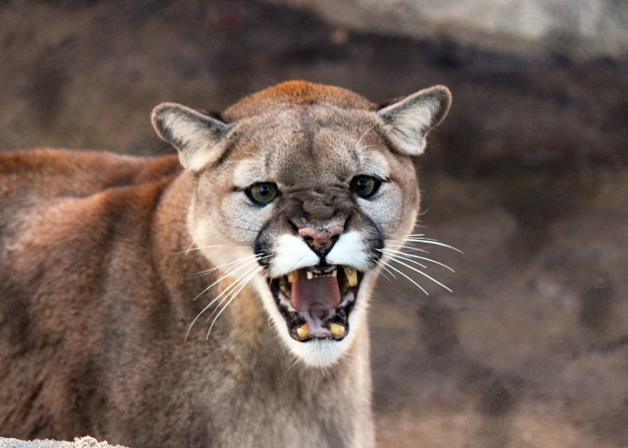 A snarling mountain lion, could this be our culprit? A 2008 TV show called Monster Quest concluded the beast was just a mountain lion, but others find this to be hard to believe.