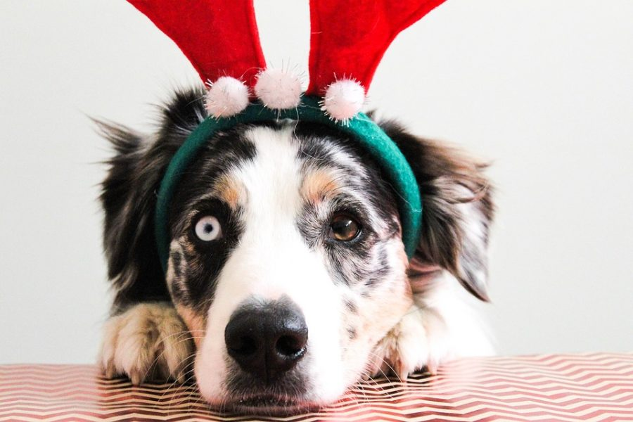 Dressed+up+as+a+reindeer%2C+this+dog+is+included+in+the+holiday+festivities+along+with+his+fellow+family+members.+Pets+can+be+a+fantastic+addition+to+the+holidays%2C+but+a+little+extra+caution+should+be+used+to+keep+our+animals+safe.