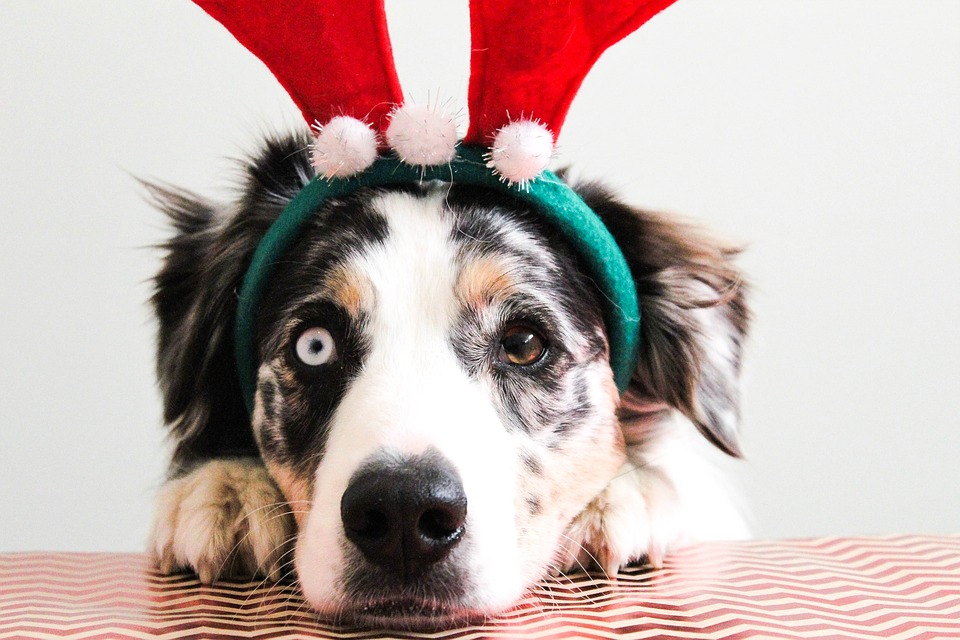 Dressed up as a reindeer, this dog is included in the holiday festivities along with his fellow family members. Pets can be a fantastic addition to the holidays, but a little extra caution should be used to keep our animals safe.