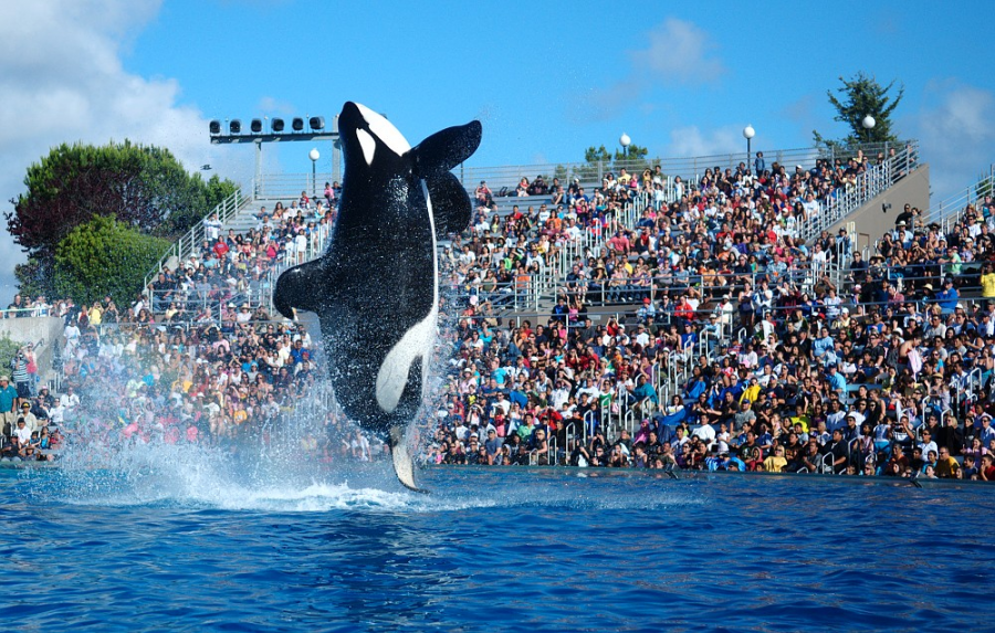 Leaping through the air, this orca performs for an eager audience at the Seaworld park in San Diego. However, notice the flopped-over dorsal fin, a phenomenon that only occurs when orcas are kept in captivity.