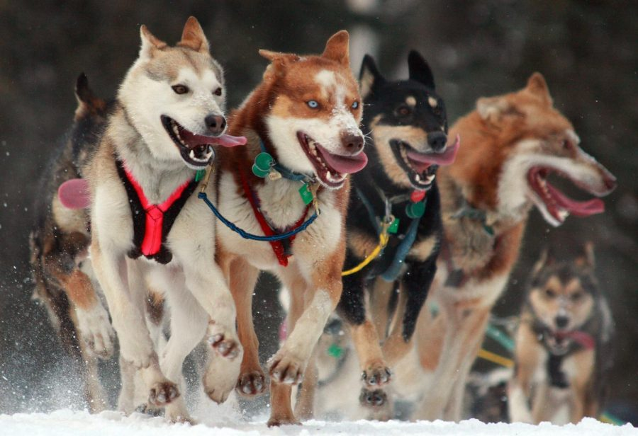 Mushing+down+the+trail%2C+these+dogs+begin+the+1%2C135+mile+race+from+Anchorage%2C+Alaska%2C+to+Nome%2C+Alaska.+On+this+date+back+in+1985%2C+Libby+Riddles+was+able+to+become+the+first+woman+to+ever+win+the+race.+%0A