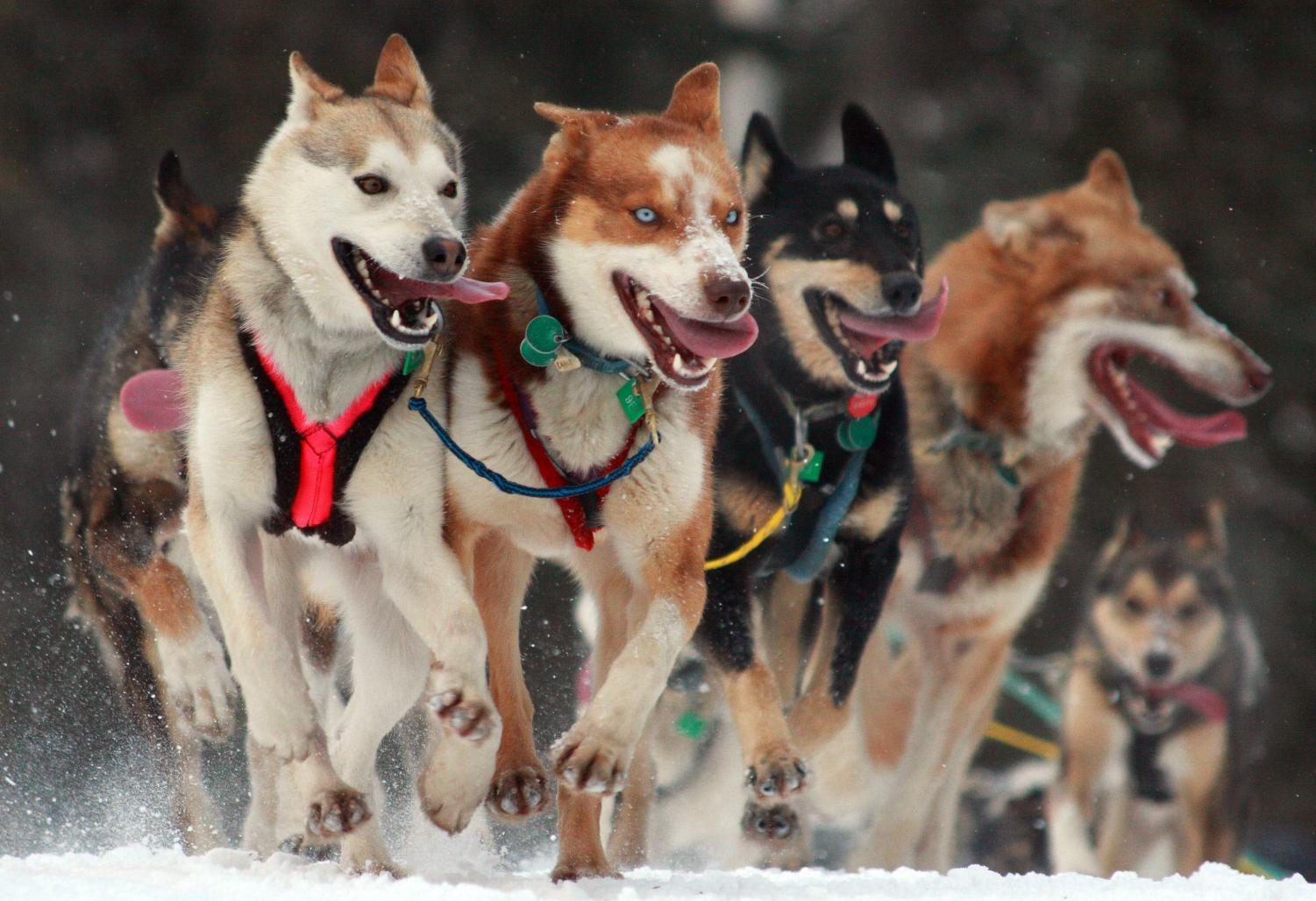 Mushing down the trail, these dogs begin the 1,135 mile race from Anchorage, Alaska, to Nome, Alaska. On this date back in 1985, Libby Riddles was able to become the first woman to ever win the race.