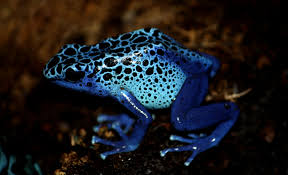 Perched on a rock, a poison dart frog uses its iridescent blue color to signal a warning to predators. Many animals containing toxins will use physical features to exemplify their dangerous qualities.
