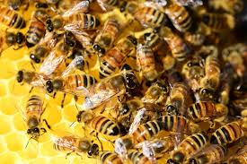 Decreasing bee populations and the honey industry at risk