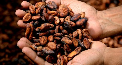 Cacao beans straight from the pods are white, but when they are dried in the sun they form a tannish, brown color. The demand for chocolate is increasing, and there is pressure on farmers by commercial brands to produce more and more.
