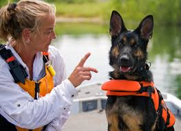Training for water rescue, this German Shepard is preparing to join a water rescue team. This is just one example of rescue dogs entering the workforce and contributing to society.