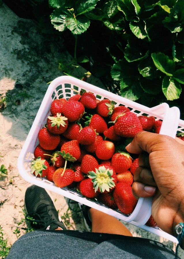 These fresh strawberries, picked during the summer at a nearby farm in the Triangle, are vibrant and delicious. Berry picking season is here and is the perfect time to stock up on fresh, locally grown produce!